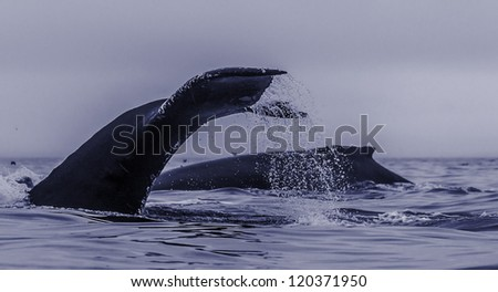 Group of diving humpback whales showing backs and flukes. - stock photo