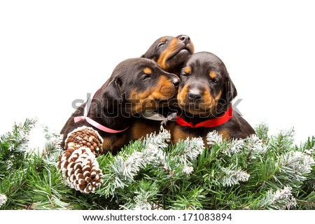 Group of dobermann puppies in fur tree isolated on white background - stock photo