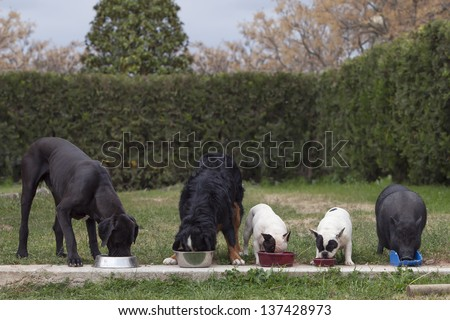 group of 4 dogs and a Vietnamese pig, eating together, photo taken outside