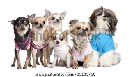 Group of dogs dressed-up : 5 chihuahuas and a  Shih Tzu in front of a white background