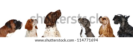 Group of Dogs look up, six different dog breeds together  headshots on isolated white background. - stock photo
