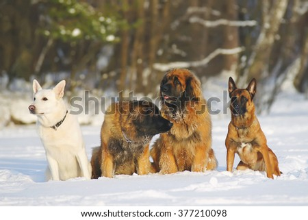 Group of dogs sitting on the snow: White Swiss Shepherd, two Leonbergers and Belgian Shepherd Malinois