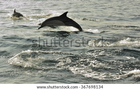 Group of dolphins, swimming in the ocean  and hunting for fish. The jumping dolphins comes up from water. The Long-beaked common dolphin (scientific name: Delphinus capensis) swim in atlantic ocean.  - stock photo