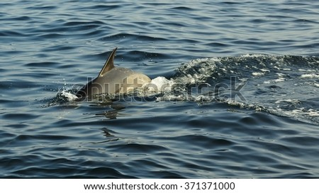 Group of dolphins, swimming in the ocean  and hunting for fish. The jumping dolphins comes up from water. The Long-beaked common dolphin (scientific name: Delphinus capensis) swim in atlantic ocean