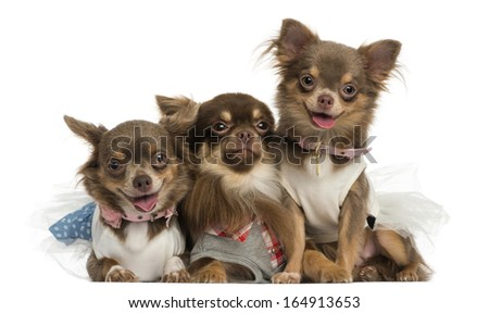 Group of dressed-up Chihuahuas panting, looking at the camera, isolated on white