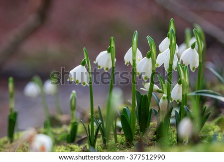 group of early spring snowflakes in the woodlands, leucojum vernum. selective focus. - stock photo