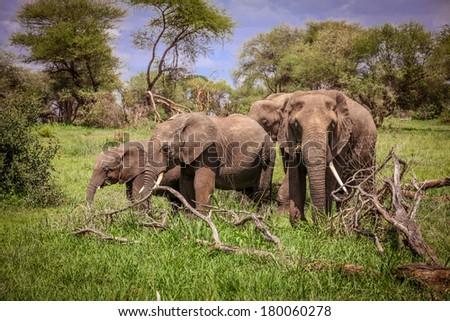 Group of elephants feeding - stock photo