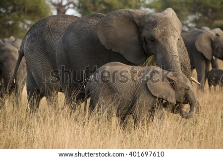 Group of elephants in the savannah. Africa. Kenya. Tanzania. Serengeti. Maasai Mara. - stock photo