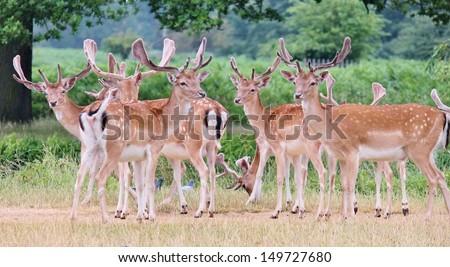 group of fallow deer bucks in clearing Richmond  - stock photo