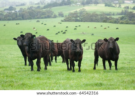 Group of farm cattle with cattle and fields background - stock photo