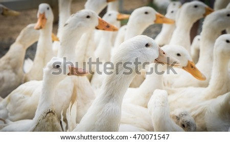 Group of farm white duck facing same way