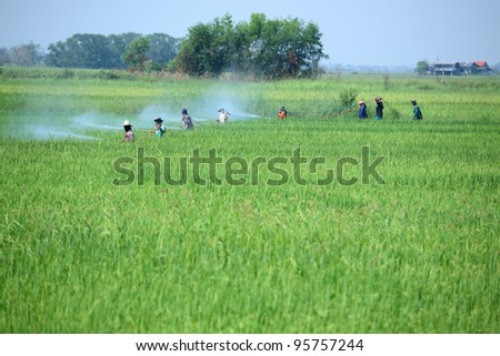 group of farmer spraying pesticide in paddy field - stock photo
