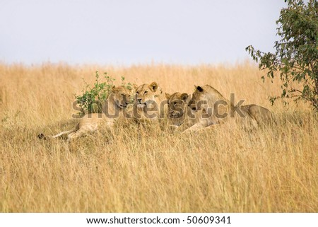 Group of female lions laying on small hillside in Africa. - stock photo
