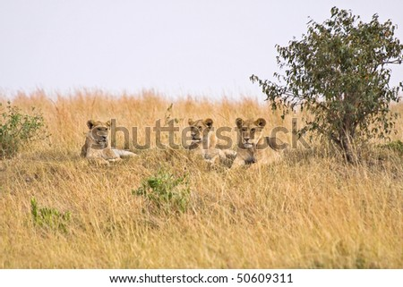 Group of female lions resting on a small hill. - stock photo