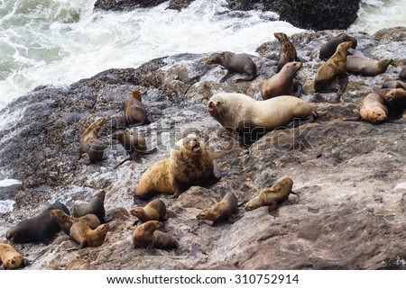 group of female sea lions surrounding two large bulls in a power struggle - stock photo