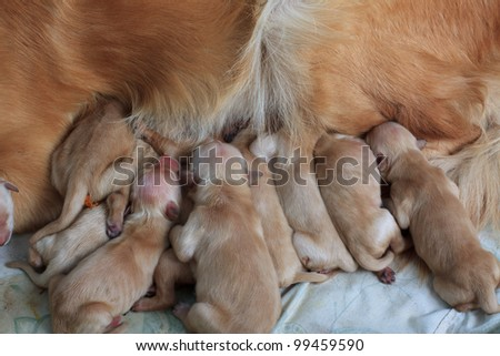 group of first day golden retriever puppies natural picture - stock photo