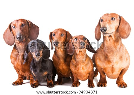 Group of five Dachshund Dogs sitting on isolated white background
