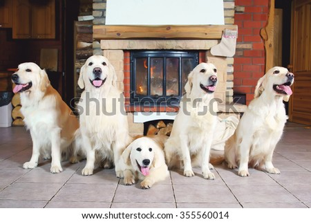 Group of five Golden Retriever dogs lying near a fireplace decorated for Christmas and New Year - stock photo