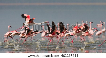 Group of flamingos before takeoff. Kenya. Africa. Nakuru National Park. Lake Bogoria National Reserve. An excellent illustration.