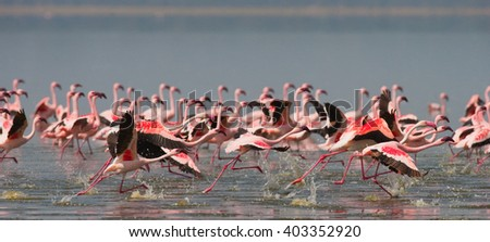 Group of flamingos before takeoff. Kenya. Africa. Nakuru National Park. Lake Bogoria National Reserve.