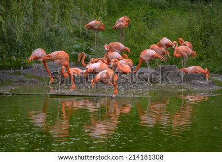 Group of Flamingos feeding and standing