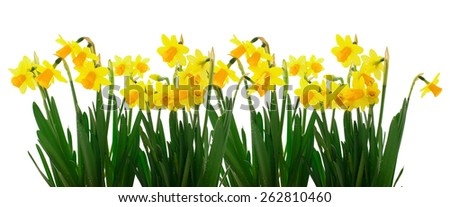 Group of flowers yellow daffodils on white background. Panorama. Spring landscape