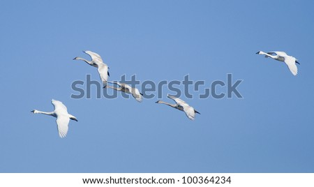 Group of Flying Trumpeter Swans Banking - stock photo