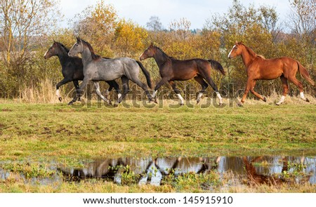 Group of four beautiful horses running  on pasture in autumn with reflection in water - stock photo
