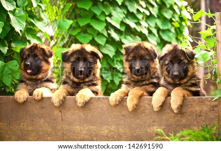 Group of four german shepherd puppies in the yard - stock photo