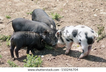 Group of four small piglets search for food outside in the sunshine. - stock photo