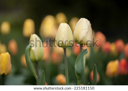 Group of fresh yellow tulips in garden - stock photo