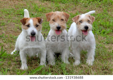 Group of funny three Jack Russell Terriers - stock photo