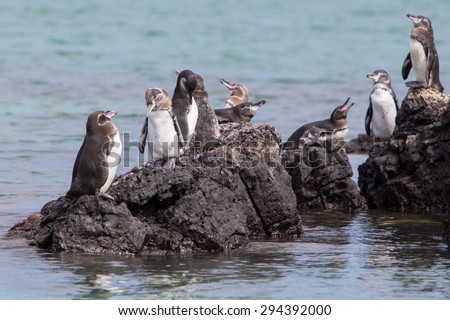Group of Galapagos Penguin (Spheniscus mendiculus) standing on a rock and playing around on Isabela Island. Galapagos Islands. Ecuador 2015. - stock photo