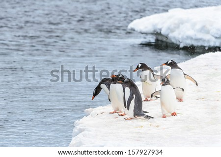 Group of gentoo penguins on the ice edge - stock photo