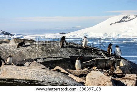 Group of gentoo penguins or pygoscellis papua are staying and sitting on the grey rock in Antarctica. Sea and mountain as a background. Sunny weather. - stock photo