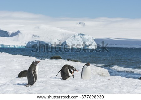 Group of Gentoo Penguins (Pygoscelis papua) - Greenwich Island in the South Shetland Islands - Antartica  - stock photo