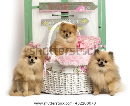 Group of German Spitz sitting in front of a rustic background - stock photo