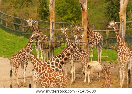 Group of giraffes in the zoo - stock photo