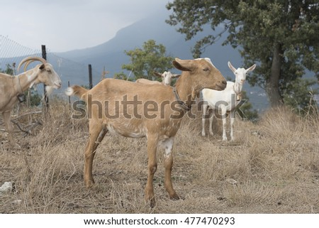 Group of goats from the brown fur and white or black fur, mountains of Cilento, Campania Italy