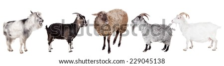 Group of goats on the white - stock photo