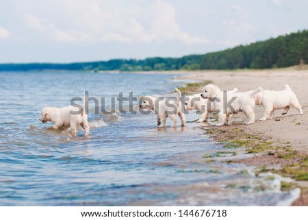 group of golden retriever puppies on the beach - stock photo