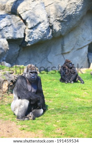 Group of gorillas resting on the grass - stock photo