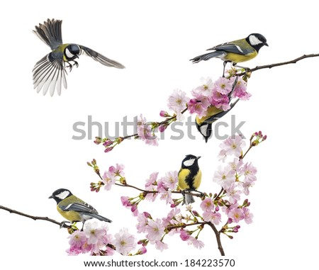 group of great tit perched on a flowering branch, Parus major, isolated on white - stock photo