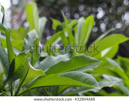 group of green leaves of Frangipani, Plumeria, Templetree exotic aroma smell BALI style spa flowers on a sunny day with raindrops and natural bokeh background outdoor.  - stock photo