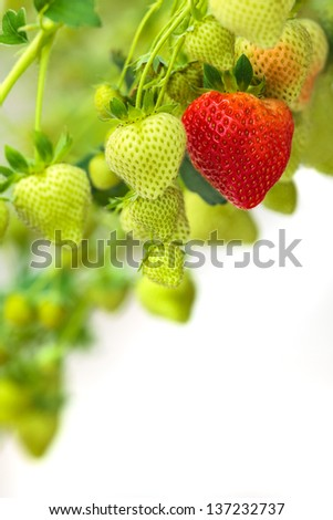 Group of green strawberries with one ripe red strawberry against a white background