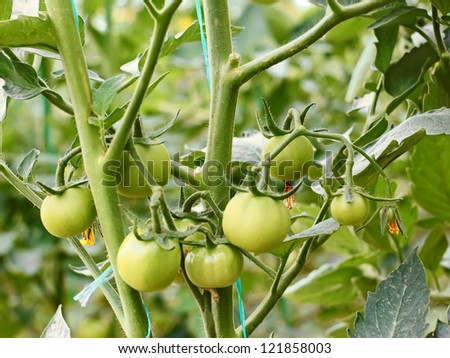 Group of green tomatoes growing in a greenhouse