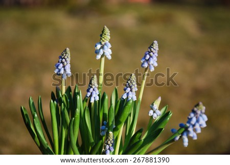 Group of growing sunlit blue grape hyacinths in a garden. - stock photo