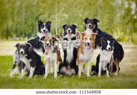 group of happy dogs border collies on the grass in summer - stock photo