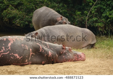 Group of Hippopotamus with pink skin