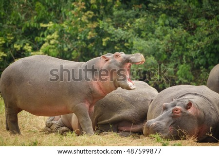 Group of Hippopotamus with pink skin opening mouth
